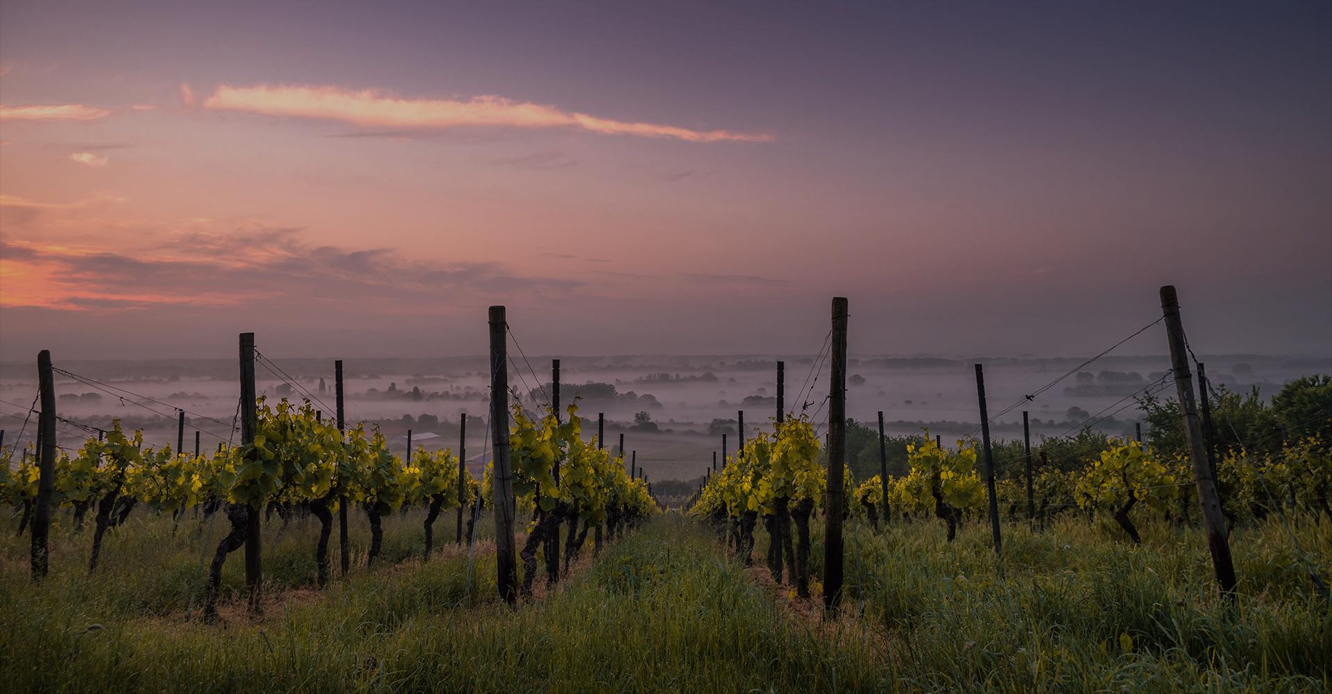 ワイン畑の画像